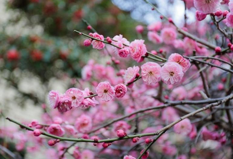 Сакура цветение